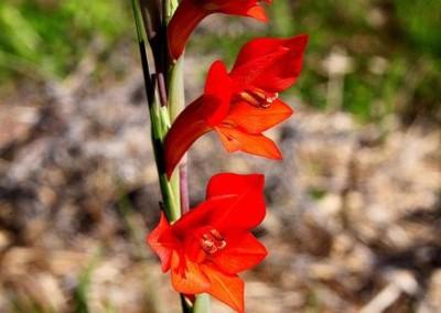 Gladiouus  huttonii     Eastern Cape  Flame