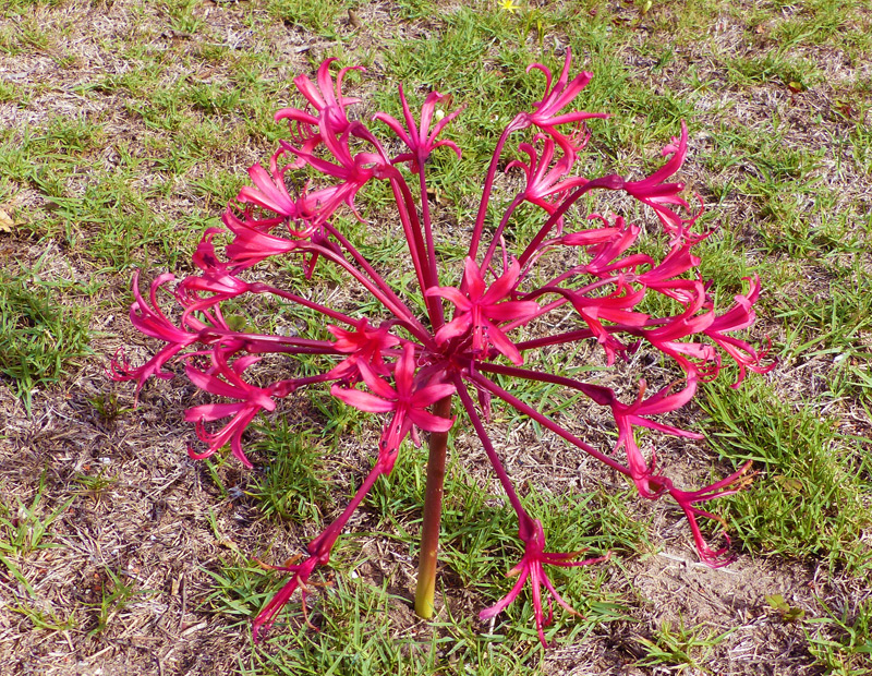 Brunsvigia gregaria flowering in St Francis