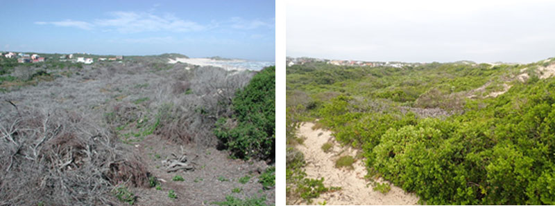 There have also been proposals to develop parts of the reserve system. A light industrial area was mooted for the area adjacent to Osprey Road, and there were plans to extend the viilage to the north of De Hoop Crescent. The likelihood of something like this happening today is virtually zero; proclamation of the unproclaimed parts of the nature network by the Kouga Municipality is imminent. This will be the culmination of 30 years of hard work by FOSTER to entrench the legal status of our reserves.   Not only would those rooikrans thickets have been a fire hazard, but also a security threat. However, open spaces that support throngs of hikers, joggers and cyclists, and are monitored and managed, are unlikely to provide opportunities for crime.