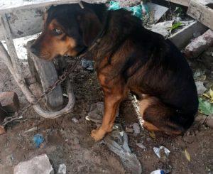 Dog chained in Sea Vista